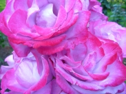 Pink Roses from Portland's Experimental Rose Garden