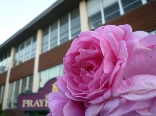 Pink Rose in front of building