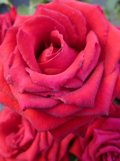 Hot Pink Rose close up