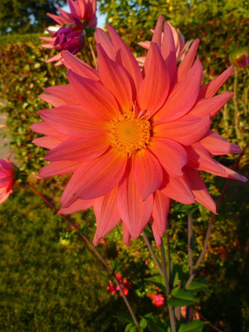 Flowers. Pink Dahlia in the Sunset