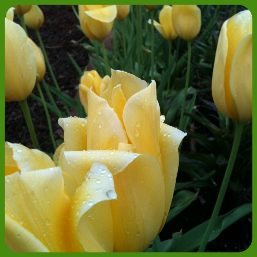 Buttery Yellow Tulips