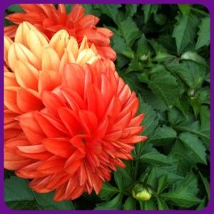Ombre Orange Dahlia