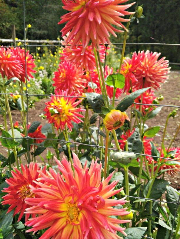 flowers_reddahlias-1