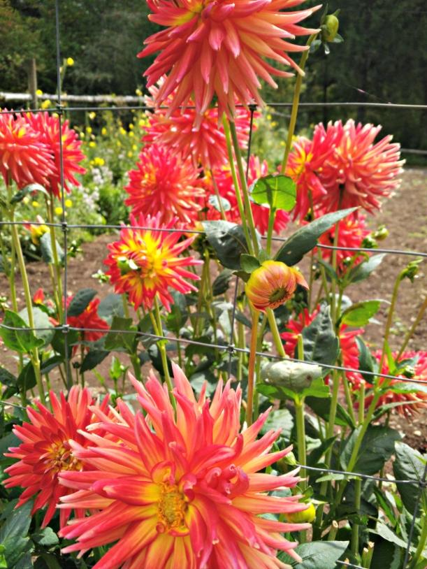 flowers_reddahlias-1