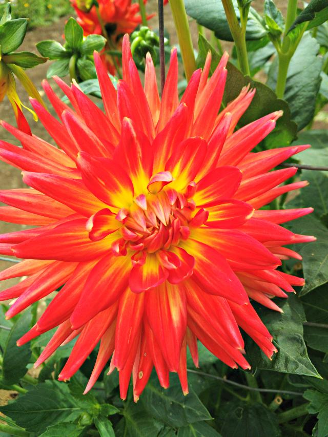 flowers_reddahlias-2